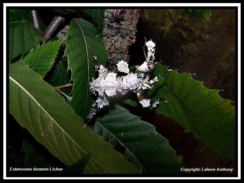Extatosoma tiaratum lichen Extato31