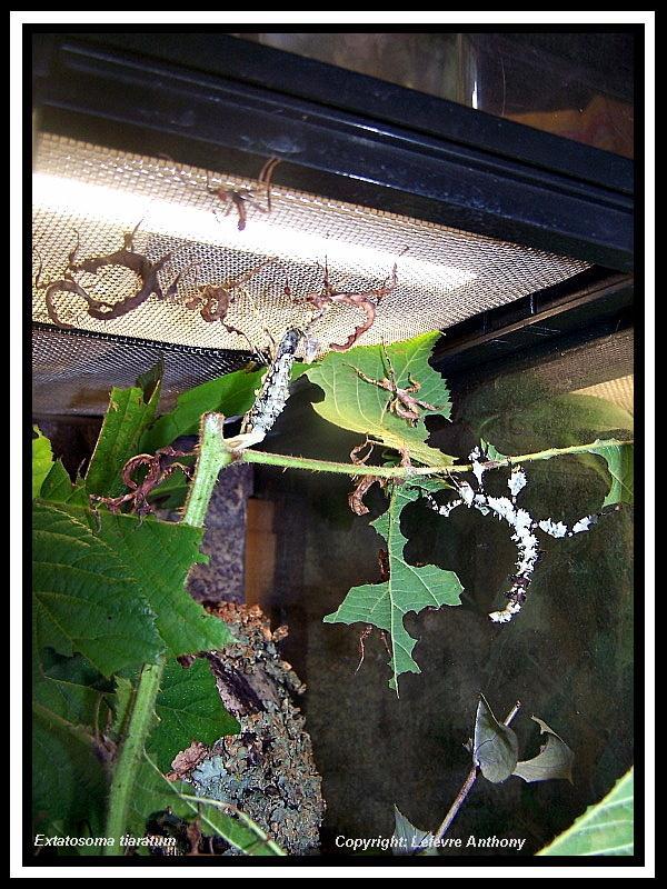 Extatosoma tiaratum lichen Extato35
