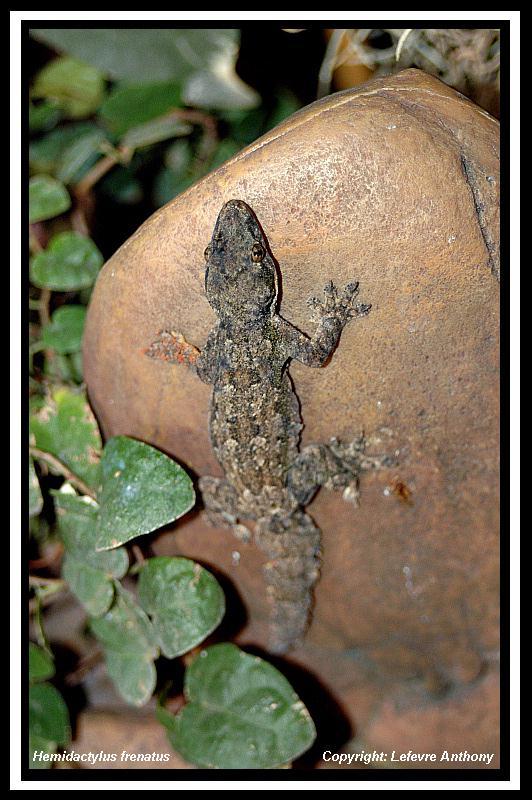 Hemidactylus frenatus Hemida10