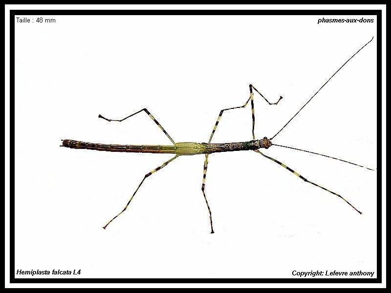 Fihe d'élevage Hemiplasta falcata (PSG 285) Hemipl13