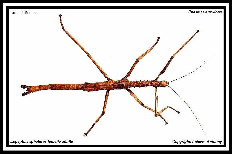 Fiche d'élevage  Lopaphus sphalerus (PSG 174) Lopaph19