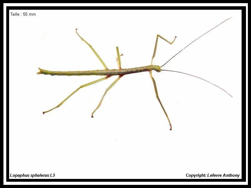 Fiche d'élevage  Lopaphus sphalerus (PSG 174) Lopaph24