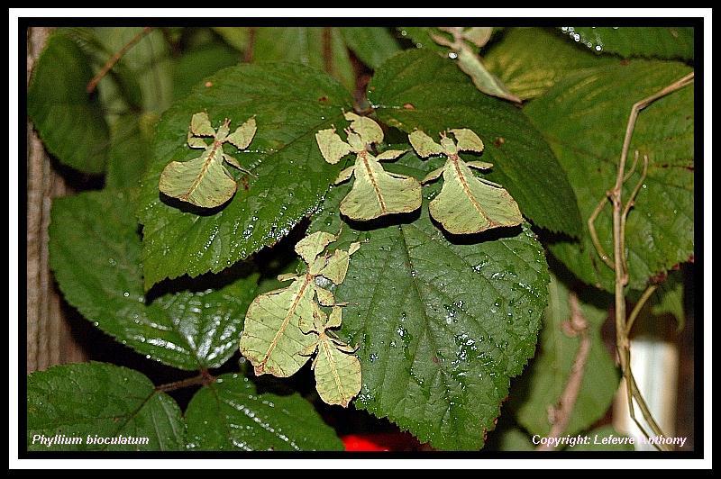 Phyllium bioculatum (P.S.G n°10) Lot_ph10