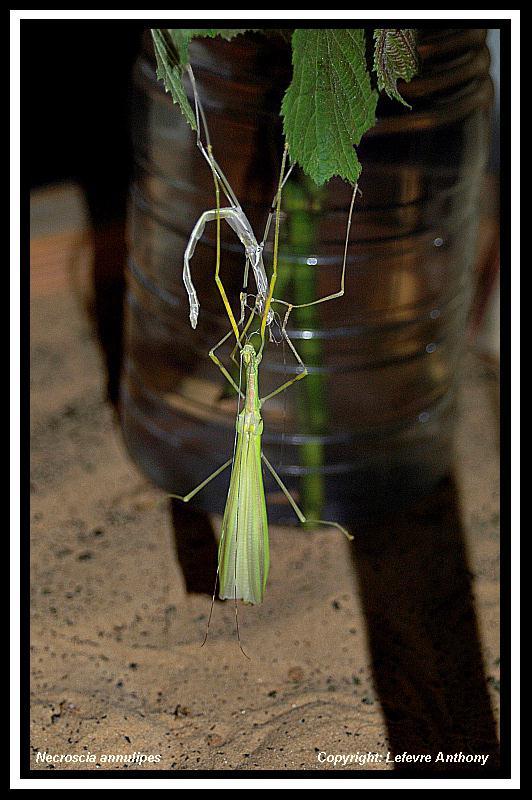 Necroscia annulipes (P.S.G n°290) Necros13