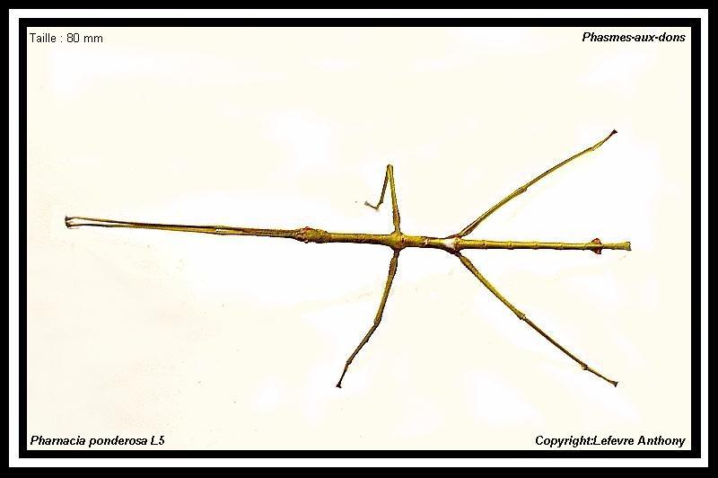 Fiche d'élevage Pharnacia ponderosa (PSG 284) Pharna12