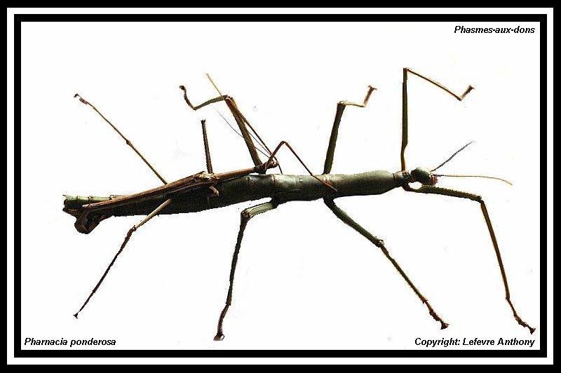 Fiche d'élevage Pharnacia ponderosa (PSG 284) Pharna30