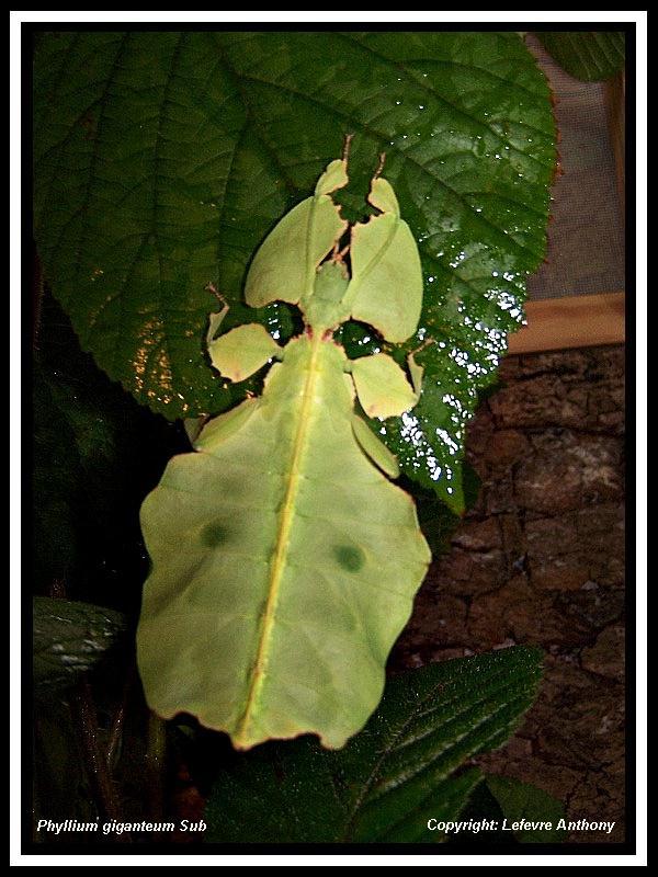 Phyllium giganteum (P.S.G n°72) Phylli44