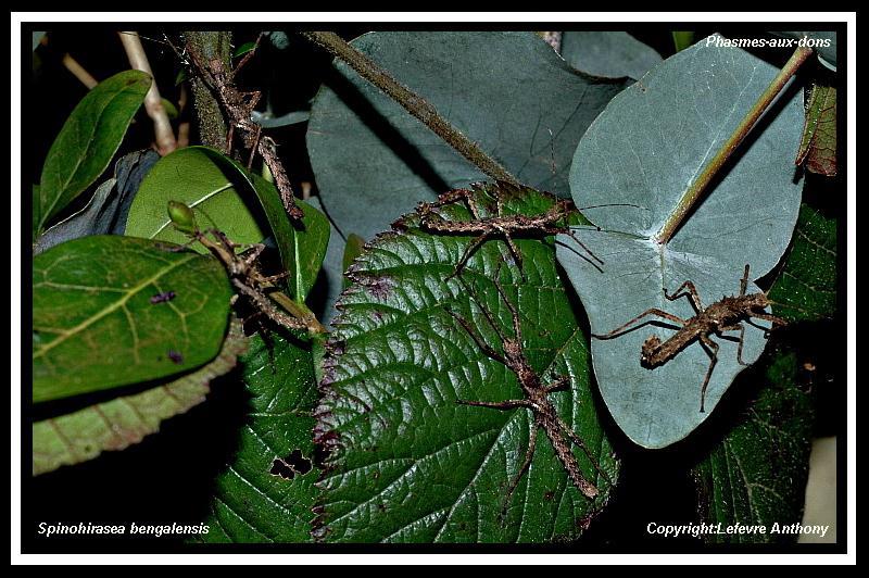 Spinohirasea bengalensis (P.S.G n°272) Spinoh11
