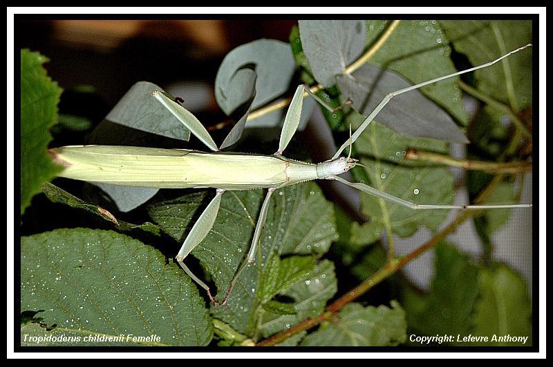 Tropidoderus childrenii (P.S.G n°193) Tropid19