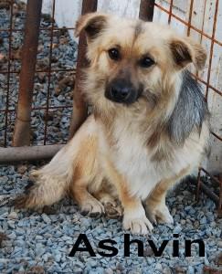 ashvin - ASHVIN X BERGER NE EN 2007 - En FA en Belgique - parrainé par Audrey38 - TINA- LBC - SOS Ashvin11