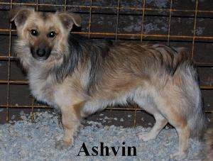 ashvin - ASHVIN X BERGER NE EN 2007 - En FA en Belgique - parrainé par Audrey38 - TINA- LBC - SOS Ashvin12