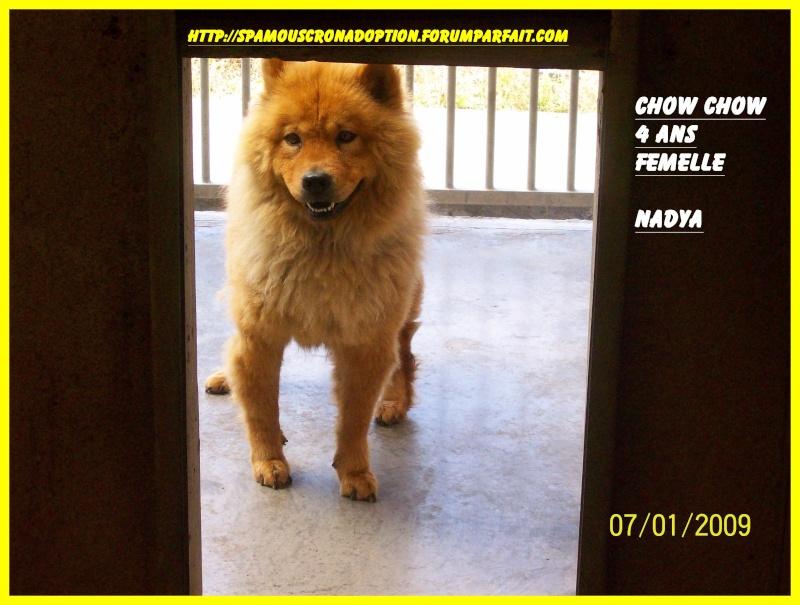 NADYA chow chow (f) 4 ans spa MOUSCRON BELGIQUE Chow210
