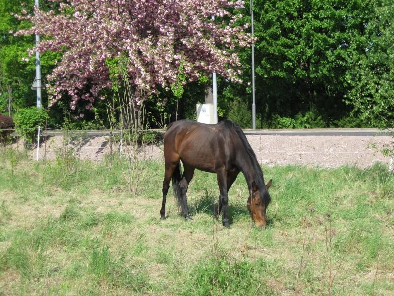 Quelques chevaux... Cheval12