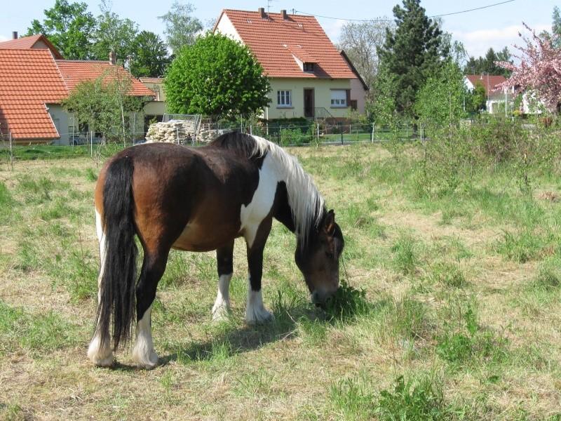 Quelques chevaux... Cheval14
