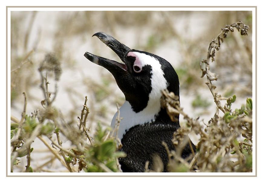 Pingouins du Cap Afrs4814