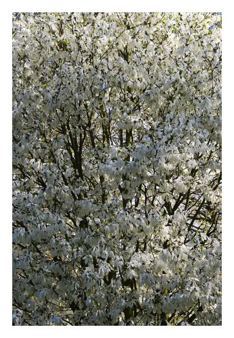 Les magnolias se dévoilent Img_5116