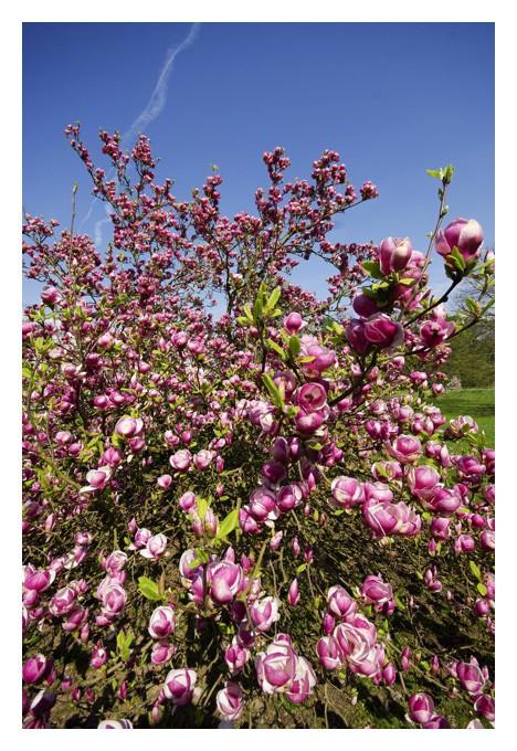 Les magnolias se dévoilent Img_5117