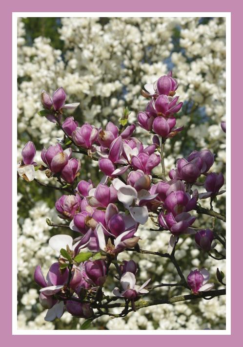 Les magnolias se dévoilent Img_5118