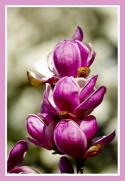 Les magnolias se dévoilent Img_5120