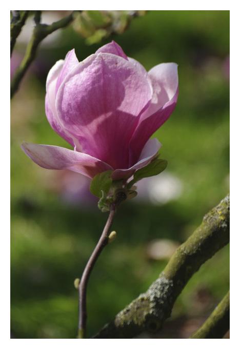 Les magnolias se dévoilent Img_5121