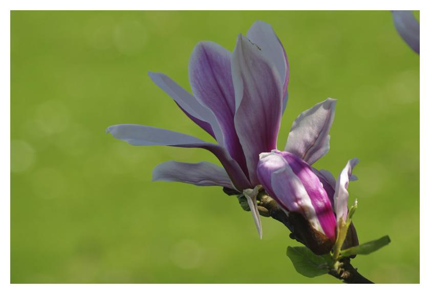 Les magnolias se dévoilent Img_5122