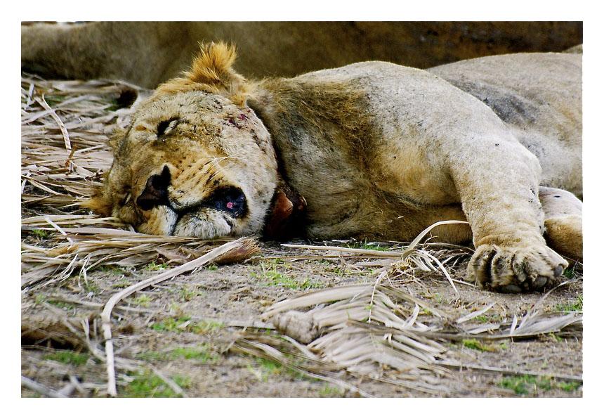 The lion sleeps tonight Img_6220