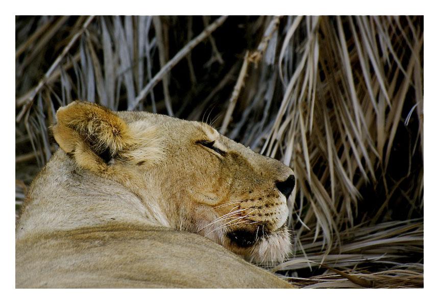 The lion sleeps tonight Img_6221