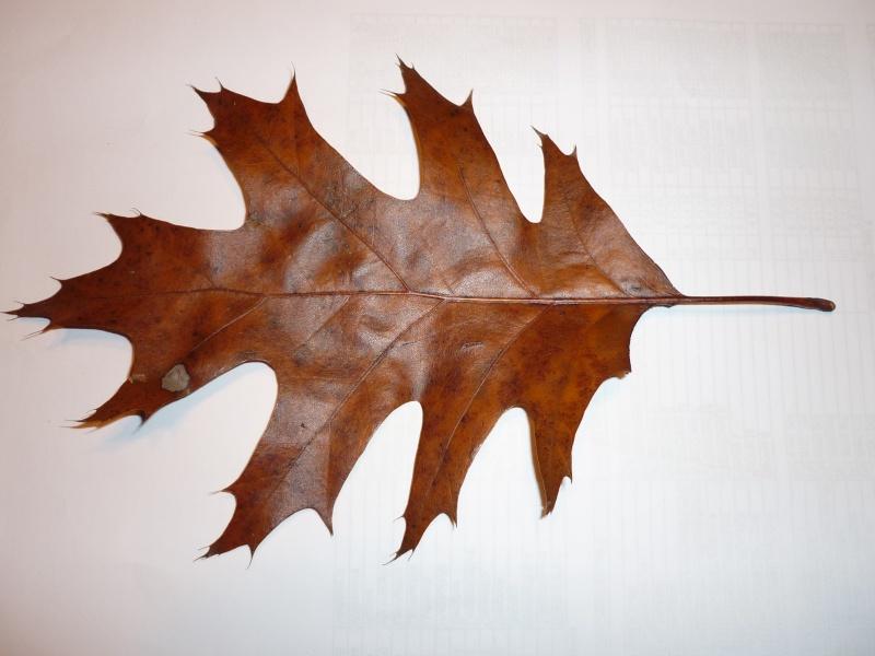 a quel arbre appartient cette feuille? (Quercus rubra Linné) Feuill10
