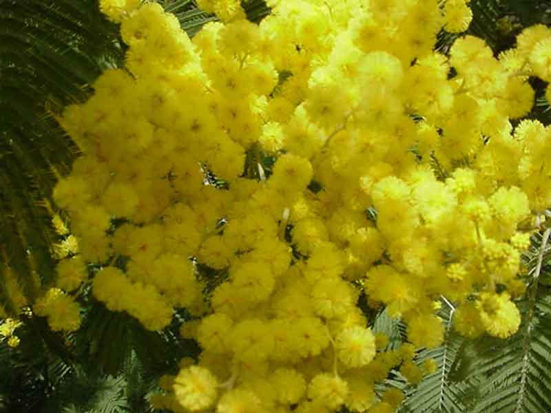 8 MARZO FESTA DELLA DONNA Mimosa10