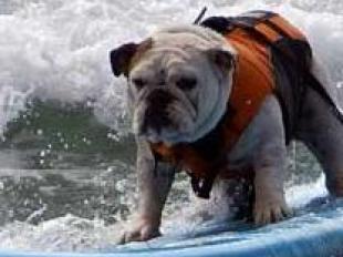 Championnat de surf pour... chiens 23128010