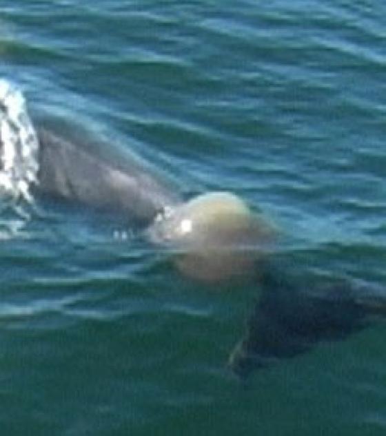 Les dauphins ne nous ont pas tout dit. Le-dau10