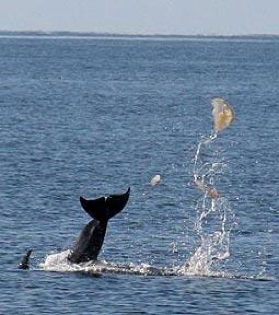 Les dauphins ne nous ont pas tout dit. Un-dau10