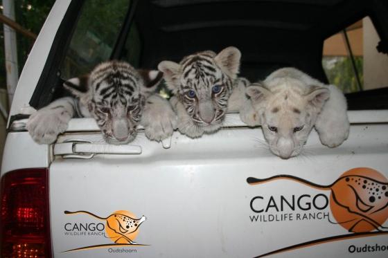 Un tigre non rayé Une-po10