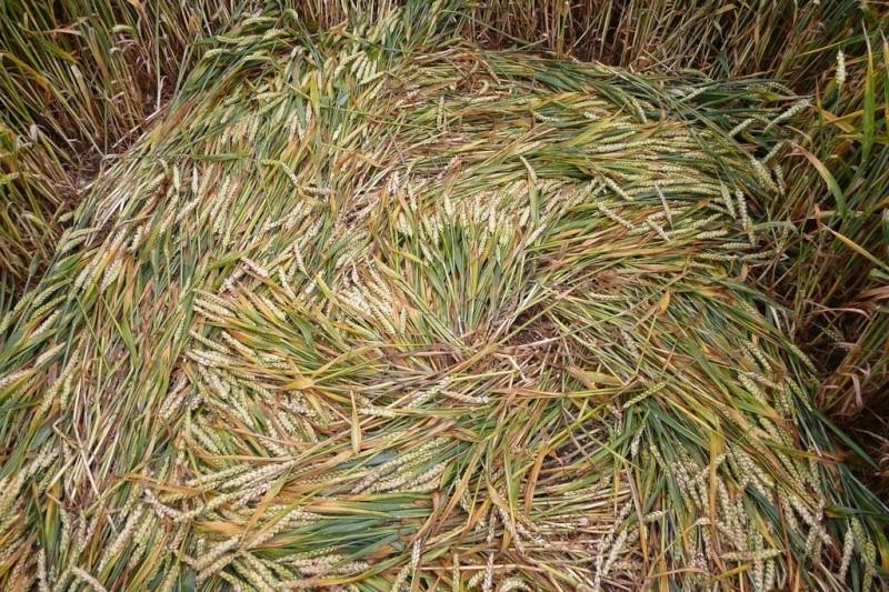 Crops circles 4 P1030611