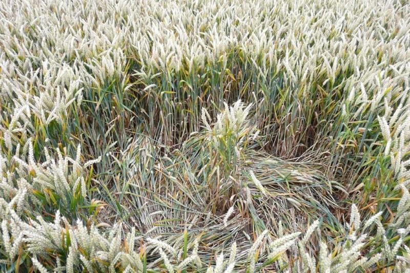Crops circles 4 P1030612
