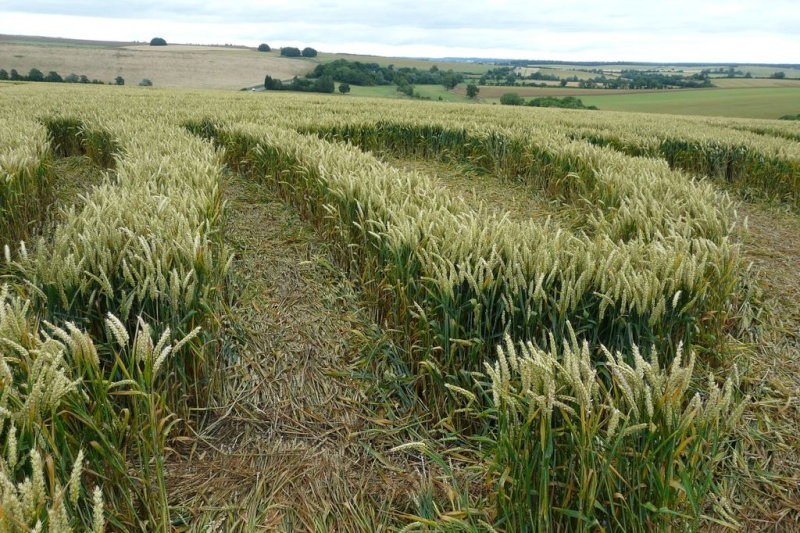 Crops circles 4 P1030614