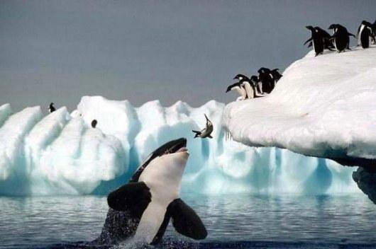 Photos d'orque et leurs proies 2008ki10