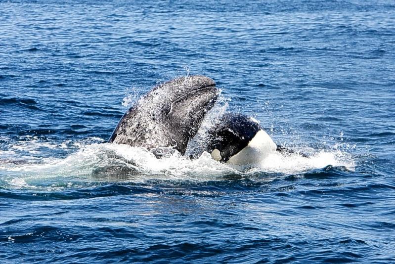Photos d'orque et leurs proies - Page 3 Articl10