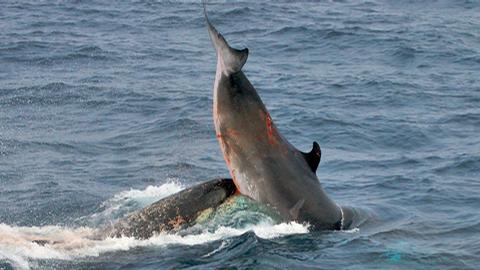 Photos d'orque et leurs proies - Page 3 Captur10