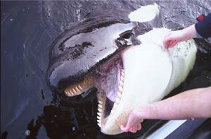 [photo] Comparaisons  impressionnantes orques / humains - Page 5 Fl5_b110