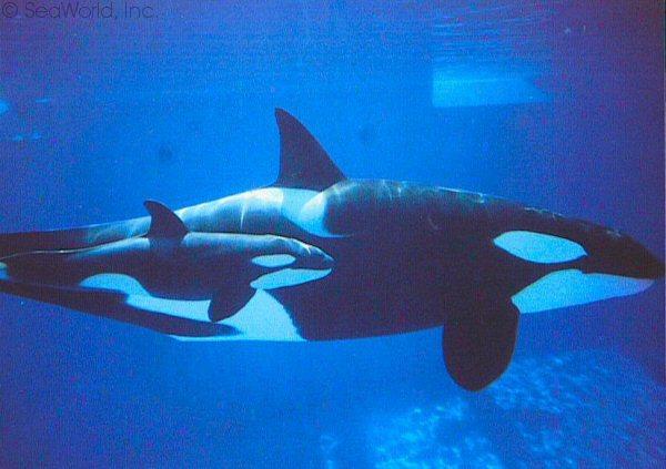 [Photos] Les orques captives quand elles étaient bébé - Page 3 Gudrun10