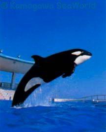 [Photos] Les orques captives quand elles étaient bébé - Page 3 Thor1410