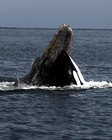 Photos d'orque et leurs proies - Page 3 Whalev10