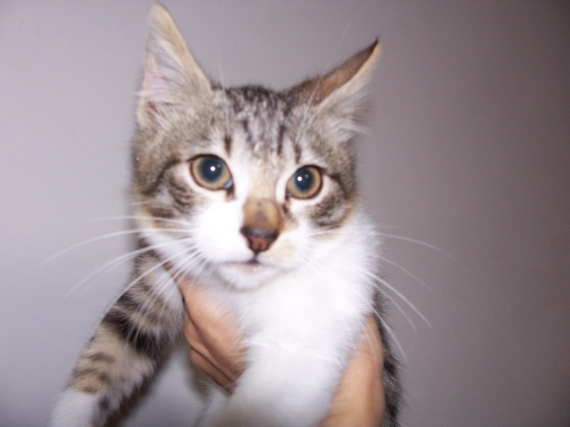 JAzz, chatonne seal point de 3 mois environ et son frère Ravel, petit chaton tigré et blanc de 3 mois 100_2011