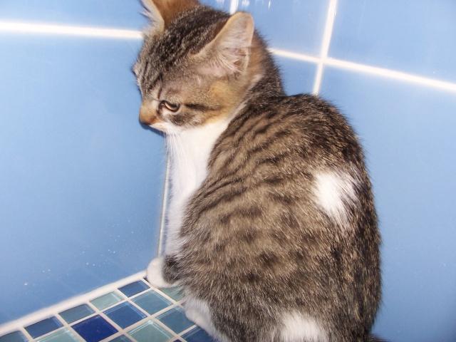 JAzz, chatonne seal point de 3 mois environ et son frère Ravel, petit chaton tigré et blanc de 3 mois 100_2012