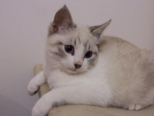 JAzz, chatonne seal point de 3 mois environ et son frère Ravel, petit chaton tigré et blanc de 3 mois 100_2013