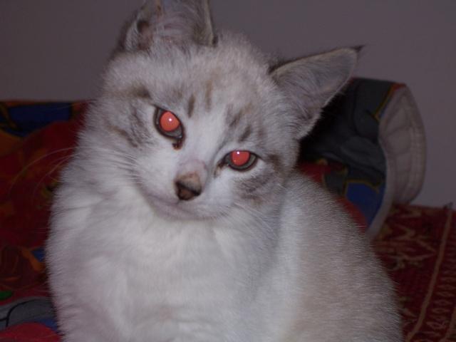 JAzz, chatonne seal point de 3 mois environ et son frère Ravel, petit chaton tigré et blanc de 3 mois 100_2016