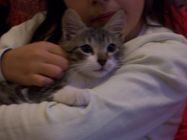 JAzz, chatonne seal point de 3 mois environ et son frère Ravel, petit chaton tigré et blanc de 3 mois 100_2111