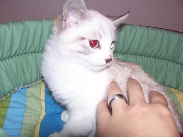JAzz, chatonne seal point de 3 mois environ et son frère Ravel, petit chaton tigré et blanc de 3 mois Jazz_c10