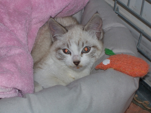JAzz, chatonne seal point de 3 mois environ et son frère Ravel, petit chaton tigré et blanc de 3 mois Jazz_c11